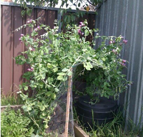 Heirloom purple peas from our vegetable garden