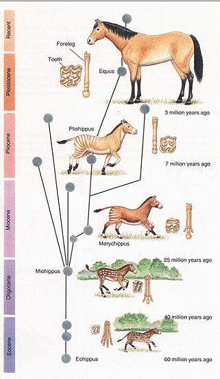 Horse evolution?