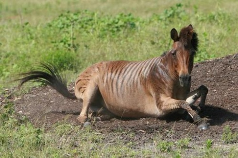 A Zorse (zebra/horse). Image courtesy of wikipedia