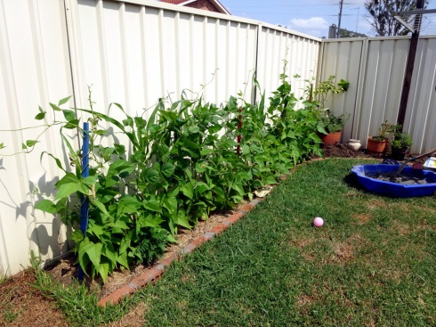 My heirloom beans are thriving.  Behind them is a row of corn, which is also thriving, and there is a marigold in front of them.