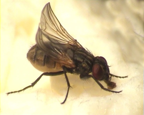 a housefly and it's disgusting sopping mouthparts. Image courtesy of