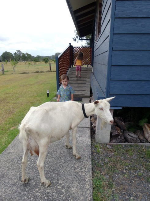 One of the goats at Honeycomb Valley Farm thinks it's a person.  She even came up on our porch when we first arrived.