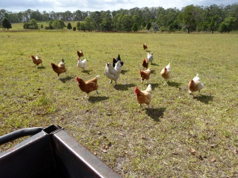Chickens chasing the trailer we were sitting in