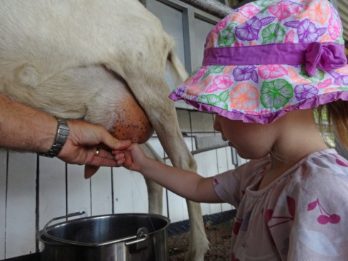 Hannah milking a goat.  She was quite good at it.  I gave it a go, but I failed.