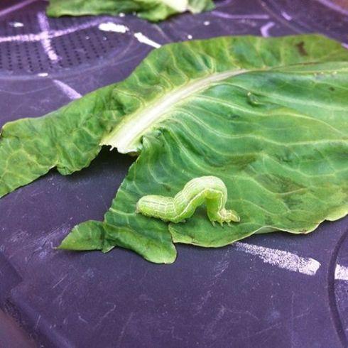 The bean eating caterpillar