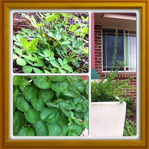 In the top left is my peanut plant that is in the garden under our front window.  Below are my strawberries, and to the right is my finger lime tree which has grown by leaps and bounds since I got it.