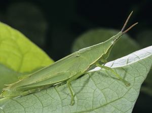 vegetable grasshopper