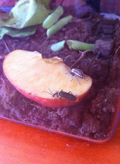 The black and yellow (it's whole underside is yellow.  Some of them are more orange, some are more yellow) bug eating an apple next to a beetle