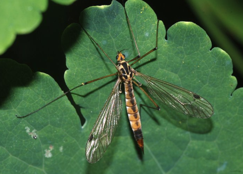 Crane fly.  Image courtesy of Wikipedia