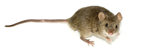 They may be cute, but disease carrying, pooping everywhere mice have no place in a house. Unless it's in a cage.... Image courtesy of wikipedia.